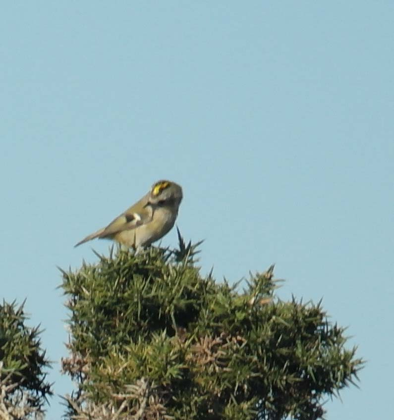 Goldcrest Oct15
